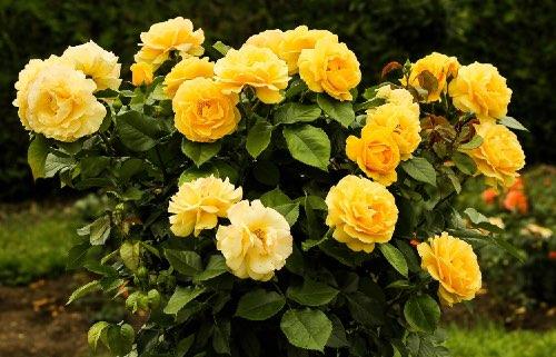 rose-bush-500